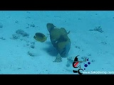 Scuba diving with Triger fish