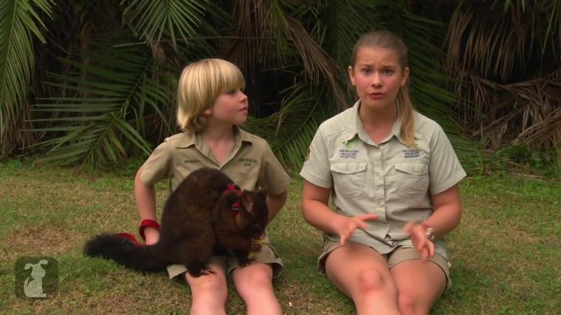 Bindi Robert Irwin feature - Common Brush tailed Possum (Pip)- Growing Up Wild