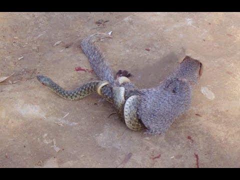 Cuộc chiến không hồi kết Chồn , Sóc , Rắn hổ mang , Kỳ đà - kẻ săn mồi chuyên nghiệp nhất
