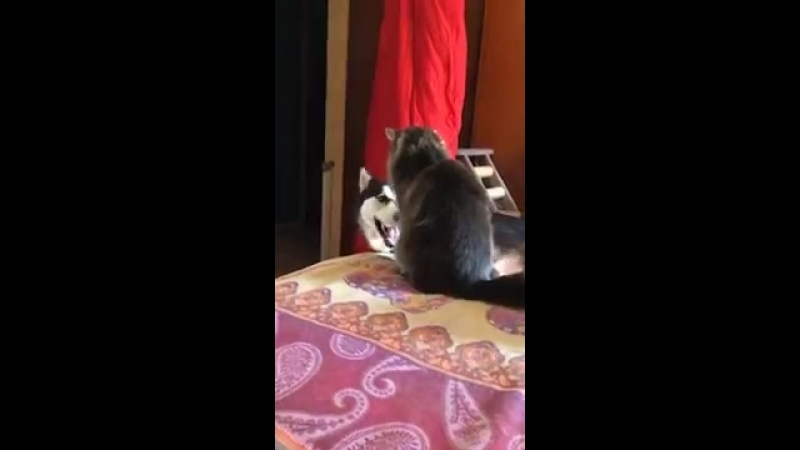 Husky tries to climb on the bed but the cat pulls it off again