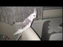 Elle sultan papağanı besleme ve ele alıştırma