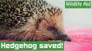 Чудо-операция спасла ёжика от верной смерти / Miracle operation saves hedgehog from certain death