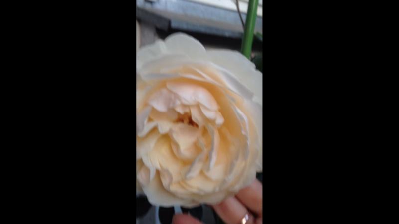 Lichfield Angel (Английские розы