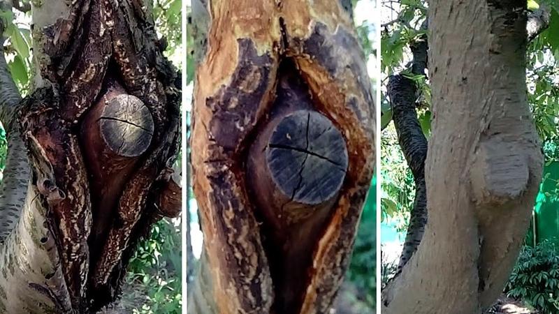 Как спасти дерево от гибели . Заживляющая замазка для больших ран после зимы