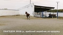 Продажа лошадей конефермы Эквилайн, тел., WhatsApp 79883400208 ЛАНГЕДОК 2018г.р.