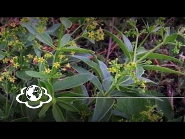Марена красильна. Rubia tinctorum. (частина 1)