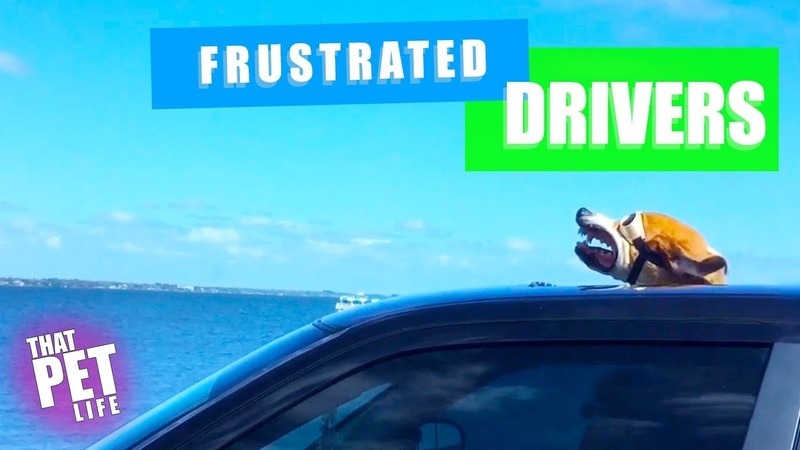Frustrated Drivers | Funny Grumpy Animals Compilation