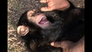 Playtime at Liberia Chimpanzee Rescue Protection