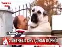 Turkish Dog Kangal 100kg 2 meter - World's Biggest Dog