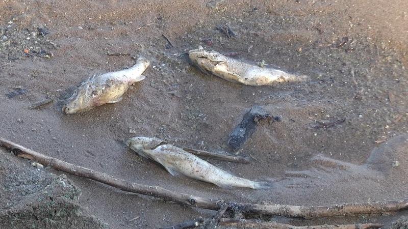 Экологическая катастрофа или обычное явление Мёртвая рыба в Ульяновске