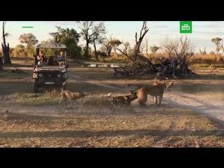 Львица защитила детеныша от стаи диких собак