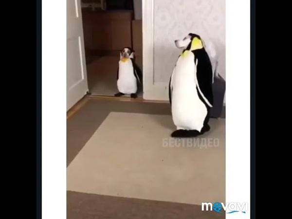 Всю жизнь мечтал завести пингвинов. Забавные собаки
