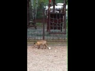 В Бобруйске лисица приходит к ресторану за едой.