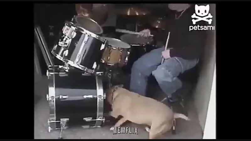 Who want this doggo for a partner-drummer?