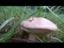 Как грибы есть на Севере Есть . ФС2018 ....растут прям на дорогах .....
