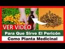Para Que Sirve El Pericon Como Planta Medicinal Tagetes Lucida Yerbaníz Santa Maria Hierba Santa
