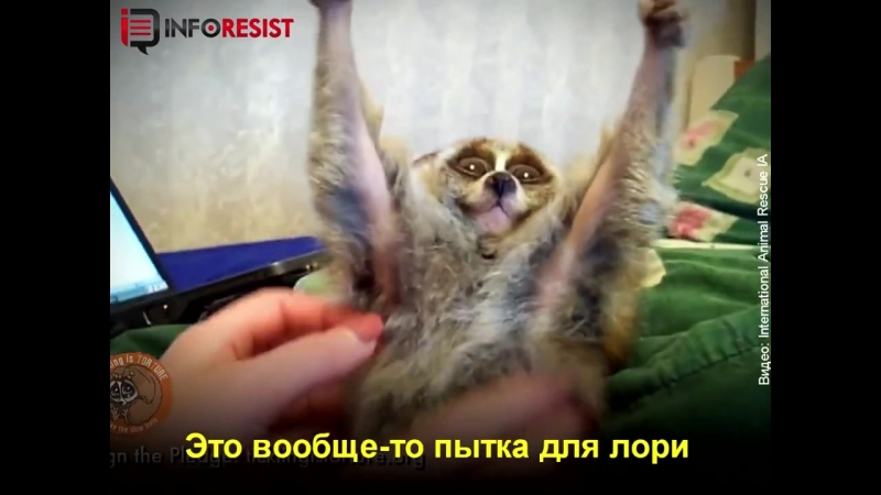 Вам кажутся милыми эти лемуры Смотрите, чем расплачиваются животные