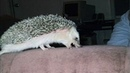 Funny Hedgehog Compilation!