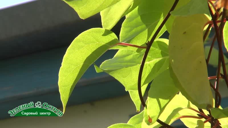 Лимонник, лечебное и очень декоративное растение, выращивание, ограничения в употреблении ягод, без ограничений - ароматный чай