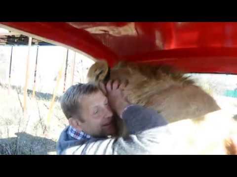 Львица Лола вводит в шок туристку , а лев витя ластится как ребенок !