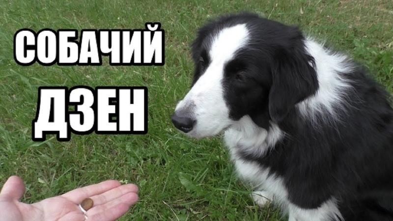 ОЧЕНЬ ВАЖНО! Тренируем собачий ДЗЕН Основа для команды ФУ без насилия! Дрессировка собак