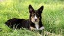 Maker 6 months border collie puppy dog tricks and fun
