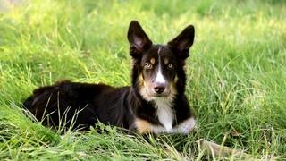 Maker - 6 months border collie puppy | dog tricks and fun