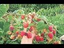 2 урожая за лето с ремонтантной малины - как обрезать