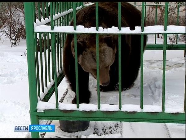 В День медведя ярославская медведица Маша еще не спит