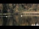 Дикие лебеди на озере в посёлке Соколинское