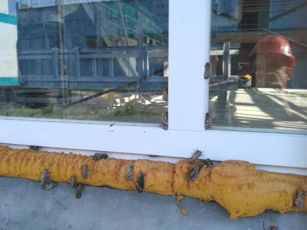 Очевидцы сообщили о нашествии шелкопряда на томский завод