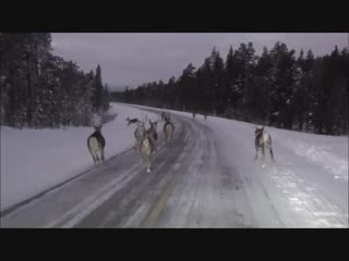 Северные олени на дорогах Заполярья