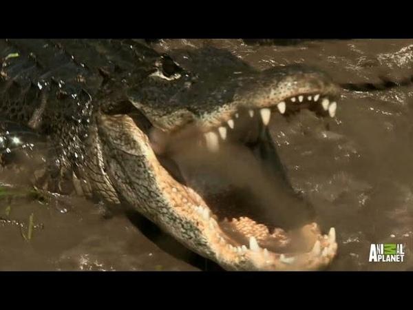 A One-Eyed Gator Puts Up a Fight | Gator Boys