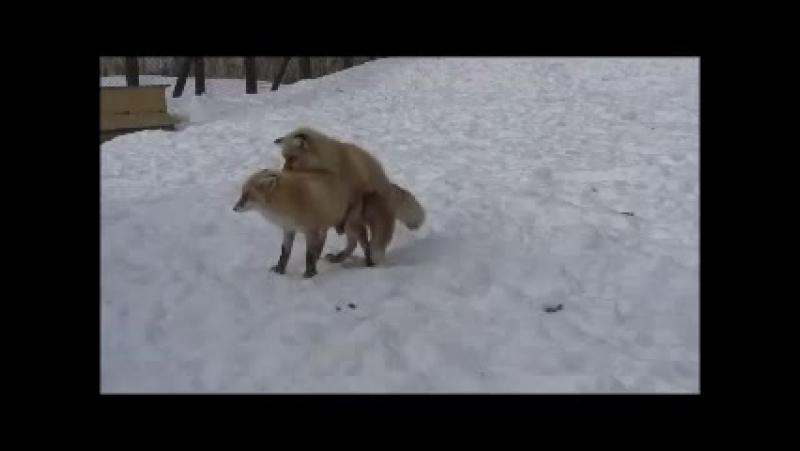 Лисицы трахаются очень прикольно!) Зацени