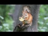 Белка ест яблоко.