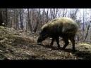 Сиеста кабаньего стада впервые на фотоловушке «Земли леопарда»