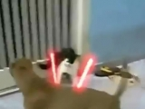แมวสตาวอร์ สู้กับหมาพิทบู