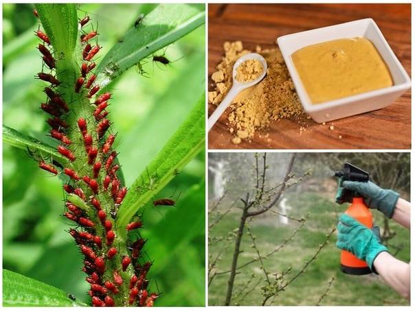 ГОРЧИЧНЫЙ ПОРОШОК - безопасное средство от вредителей сада