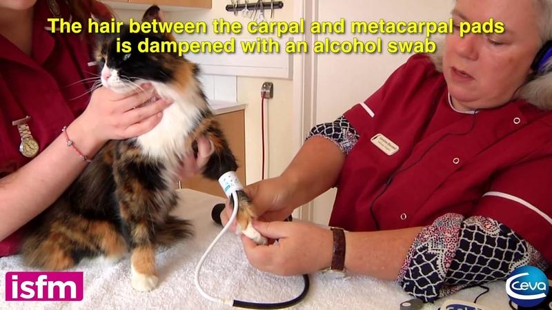 Измерение артериального давления у кошки методом Допплера на конечности Doppler blood pressure measurement in the cat use of the leg