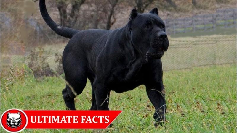Presa Canario - Ultimate Facts