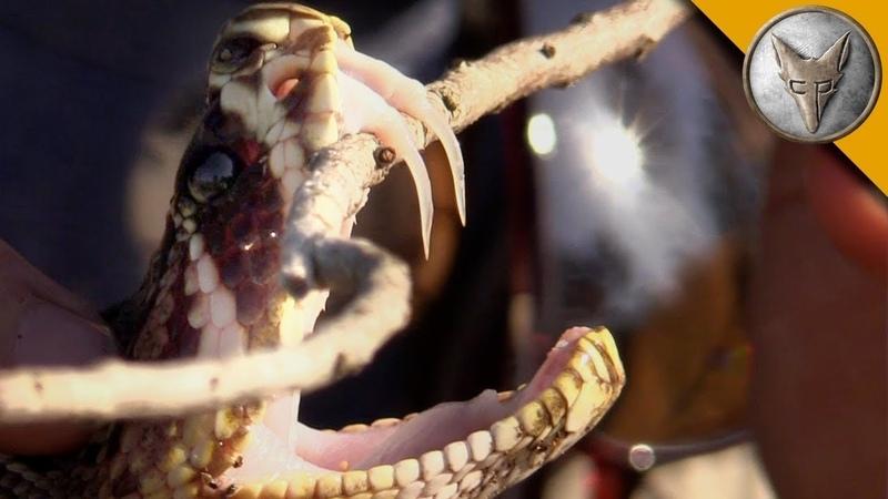 ПОЙМАЛИ ГРЕМУЧУЮ ЗМЕЮ.Ужасные клыки гремучей змеи.Brave Wilderness на русском