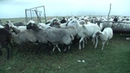 Pascoli pastori e formaggi ~ Valnerina UMBRIA IT