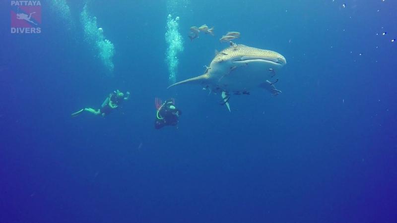 Дрифт с китовой акулой на Chang Wreck Дайвинг на Ко Чанге Таиланд