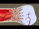 Анатомия Человека Рост костей fyfnjvbz xtkjdtrf hjcn rjcntq