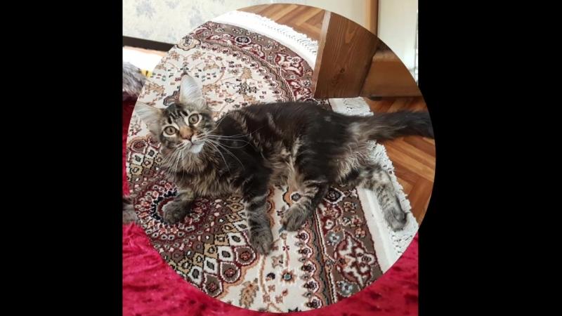 😺😺😺Продаются котята породы Мейн Кун. Все вопросы по тел.89142538023 или вотсап.