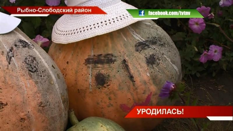 Рекордный урожай тыквы в Рыбно-Слободском районе | ТНВ