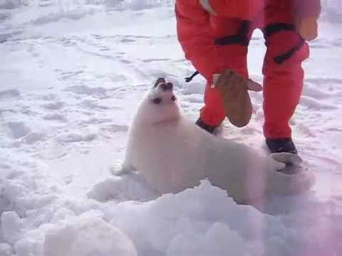 Michael McDade Seal Shepherd The Squeal Of A Baby Harp Seal