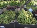 Плоды кропотливого труда старооскольский виноградарь дождался богатого урожая