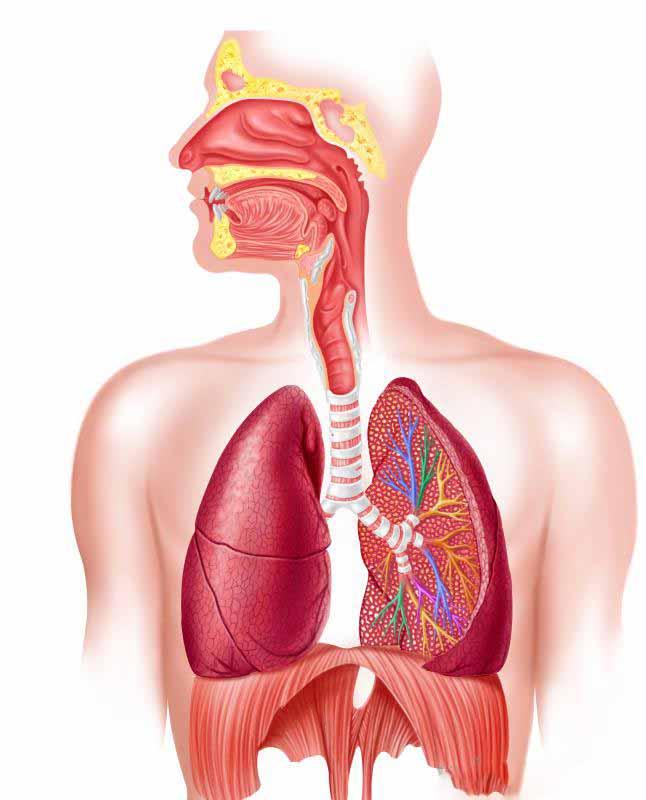 Дыхательная система.Респираторные вирусы ➤