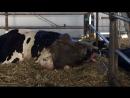 Роды у коровы